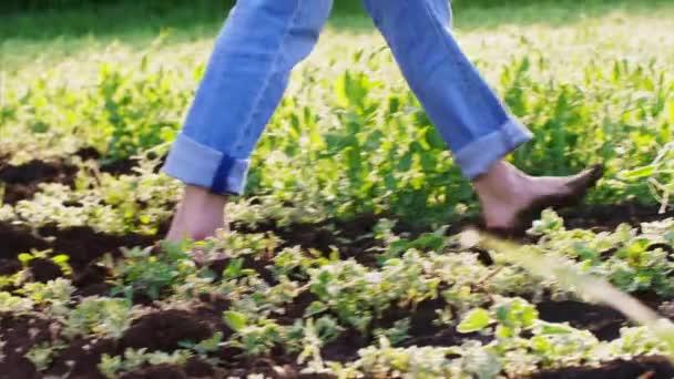 Barfuß läuft Mann auf Feld zwischen Erbsenbeeten.