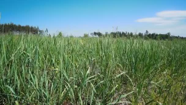Vysoká kymácí ve větru trávy na jarní louce. Krásné přírody