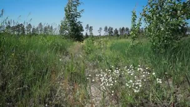 Kis palánták fenyők között a fű és a fiatal nyírfa vannak lengő, szél. Gyönyörű természeti táj
