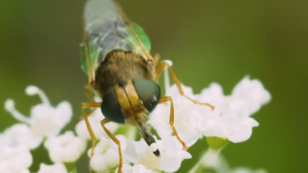 Insect fly Hoverfly collecting nectar on white flowers of the Heracleum. Macro footage.