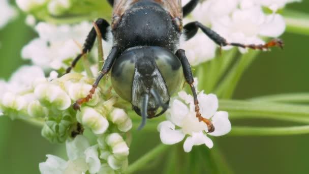Portrét mouchu s velkýma očima zelené černé na bílé květy. Makro záběry