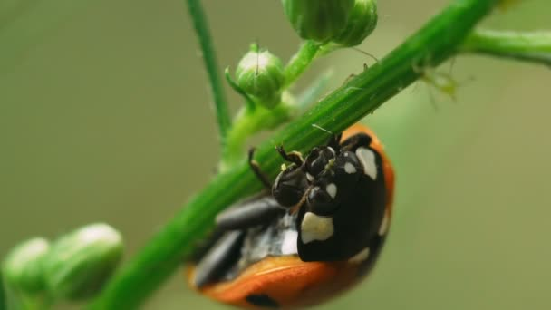 Ladybug sits on the green stalk of the plant, cleans the paw and washed. Macro shot.