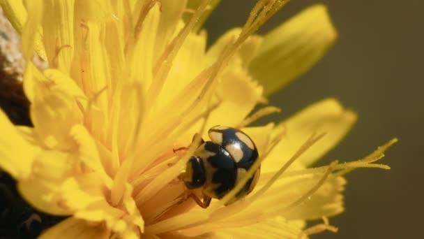 Hmyzu Beruška Coccinula sedí na žlutou květinu a čistí tlapy a hlavu. Makro snímek
