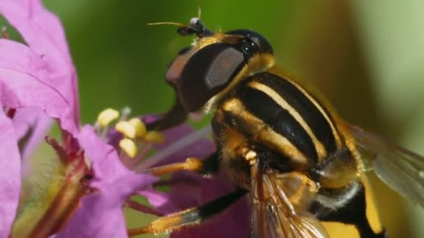 Insect Hoverfly collects pollen on pink flowers. Macro shot.