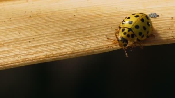 Žlutá Beruška Coccinula prochází na listu suchá hůl. Makro snímek.