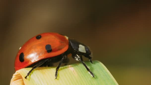 Ladybug sits on a sheet of reed and looks for a way to go down. Macro shot.