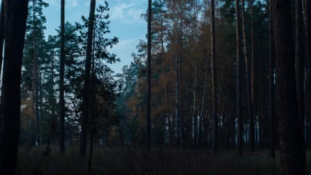 Vycházející slunce ozařuje borovici a břízu podzimním žlutým listím v lese.