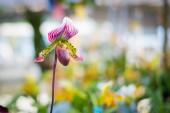 Ladys střevíček květ orchideje (Paphiopedilum) fialové barvy v zahradě