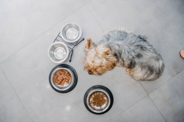 Yorkshire Terrier dog is sick and refuses to eat. No appetite, sadness, depression