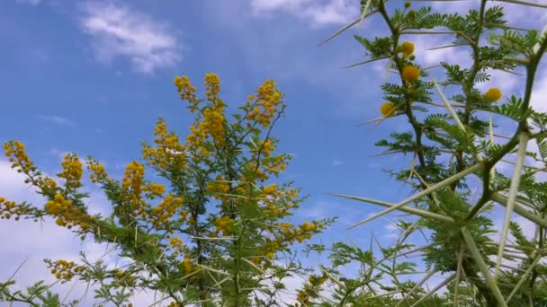 Acacia Vachellia Karroo or sweet thorn growing flowers on tree on blue sky background in Africa