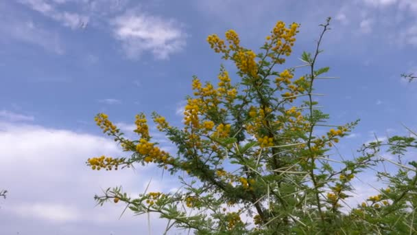 Flowering yellow acacia Vachellia Karroo with sharp spines on blue sky background. Flowers and pin