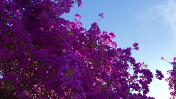 Kvetoucí oleandry s růžovými květy fialové na pozadí modré oblohy