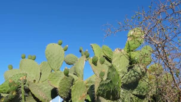 Zelená opuncie kaktus s ovocem v africké poušti blízko nahoru, nízký úhel snímání
