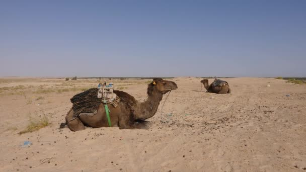 Two camel with one hump lying on sand in desert. Brown dromedary camel in Sahara