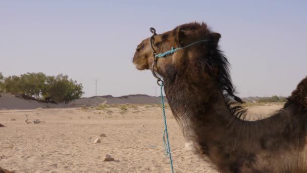 Camel standing in sandy desert. Close up dromedary camel on dessert background