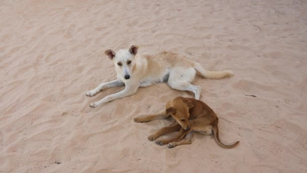 Two dogs lying together on sand on summer day. Mongrel dog scratches his foot while biting fleas