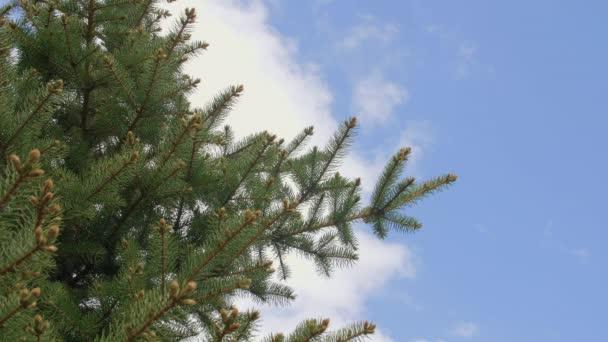 Větví borovice v jehličnatých lesů na pozadí modré oblohy zblízka