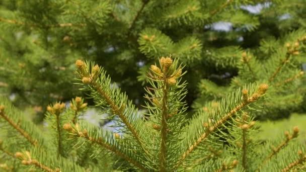 Zblízka jehly borovice v jehličnatých lesů. Větve borovice v lese