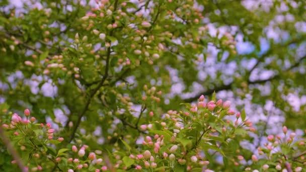 Jarní pozadí s růžový květ na třešňovou větví