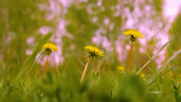 Jarní louka s žluté pampelišky květy a zelené trávy