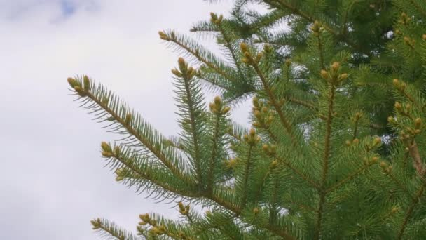 Green fir tree branches with needles, buds and sky with empty space for text