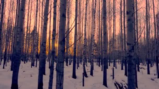 Zlaté slunce mezi stromy v březové háje při západu slunce na zimní večer