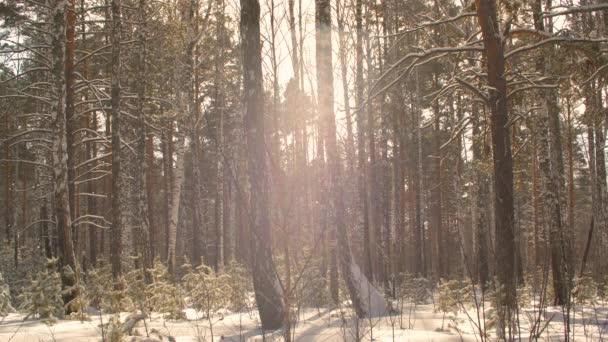 Zpomalený pohyb vločka padá v zasněženém lese na slunci pozadí