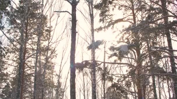 Zasněžené borovice v mrazivých lesích.