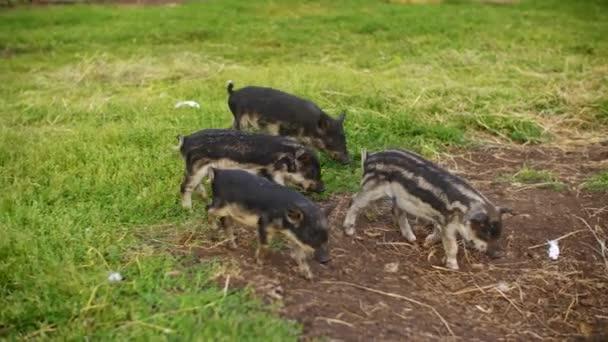 Aranyos kismalacok járkálnak a vidéki farmokon.