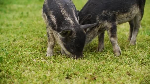 Aranyos mangalica malacok legelnek a nyári mezőn a sertésfarmon. A kismalacok zöld füvet esznek a vidéki réten. Állattenyésztés a sertésfarmon. Sertéstenyésztés.