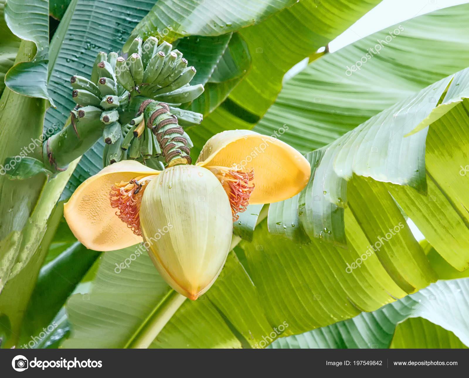 Flower banana hanging palm tree yellow color you can see stock flower banana hanging palm tree yellow color you can see stock photo mightylinksfo
