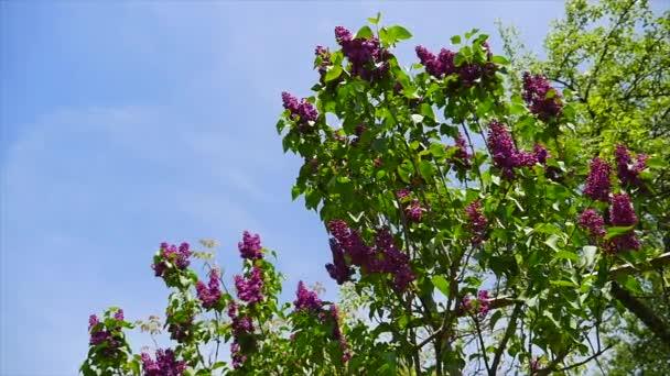 Šeříky, květ, kvetoucí, zfilmován s výsuvná kolejnice. Zahrada šeříky. Květiny lila, kvetoucí, šeříky