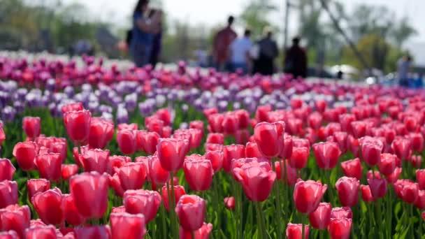 A gyönyörű színes tulipán mező légi
