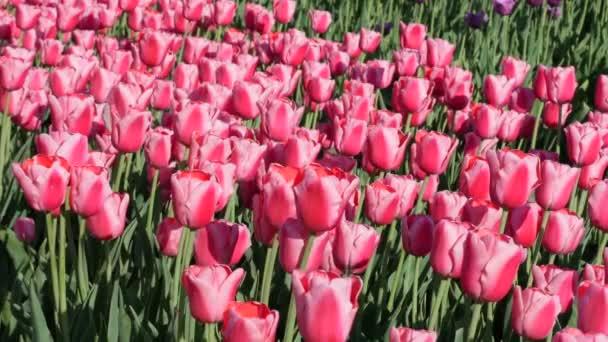 Krásný barevný Tulipán pole antény