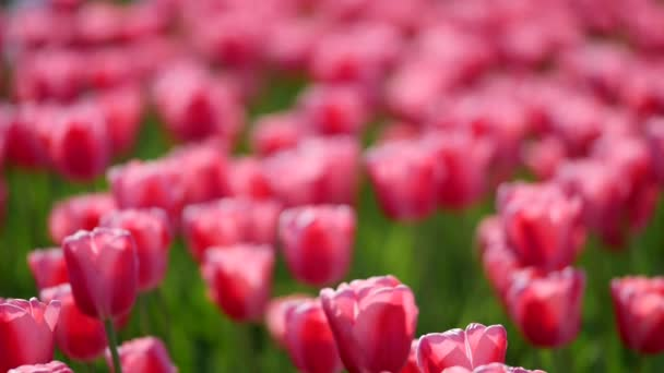 pink tulips in a field
