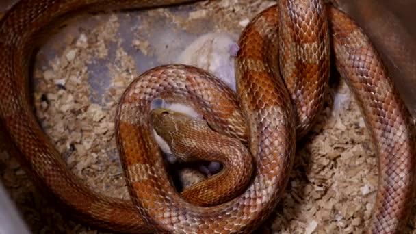 Egy piros kukorica kígyó, etetés, terrarium. Pantherophis guttatus egy észak-amerikai faj patkány kígyó, hogy visszafogja a zsákmányukat a szűkület. Kukorica kígyó teljes száj, nyelési egy patkány.
