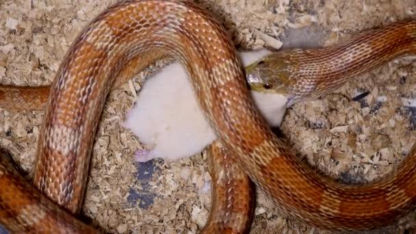 Červená Užovka krmení v teráriu. Pantherophis guttatus je Severoamerická specie Užovka, který tlumí jeho malou kořist od zúžení. Užovka s plnými ústy polykání krysa.
