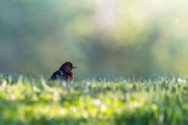 """Картина, постер, плакат, фотообои """"милый маленький дрозд в зеленой траве в парке. мелкая глубина резкости. размытый зеленый фон ."""", артикул 202971184"""