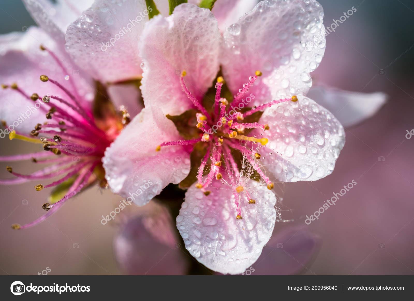 Detail Beautiful Blooming Tree Spring Nice Pink Flowers Small Rain