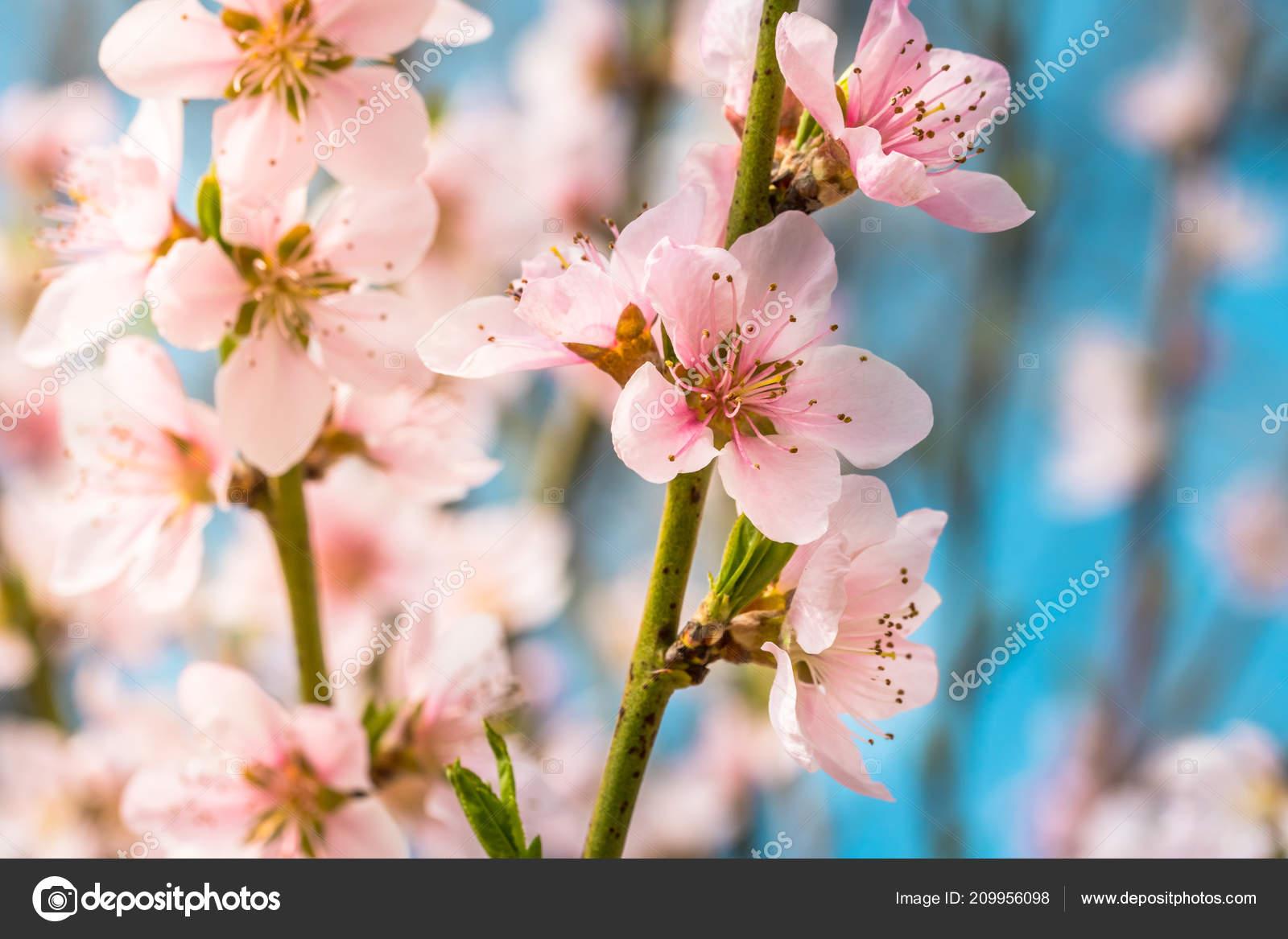 Detail Beautiful Blooming Tree Spring Nice Pink Flowers Twig Macro