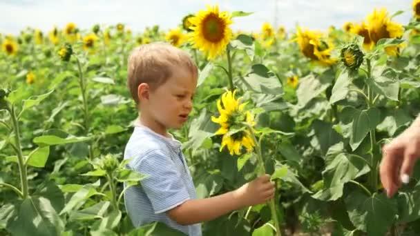 Fiú vágott virág a napraforgó és a szedés egy csokor