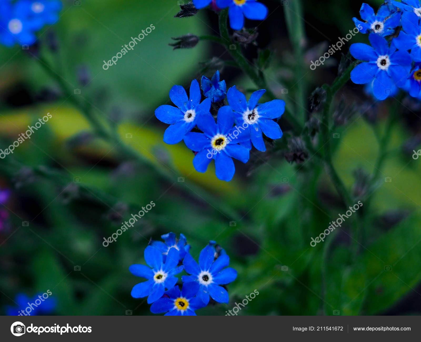 Bleeding Heart Flowers Dicentra Spectabilis Blue Flowers Stock