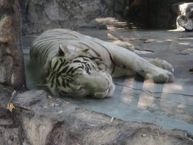 White tiger relaxing and sleeping on the rock.