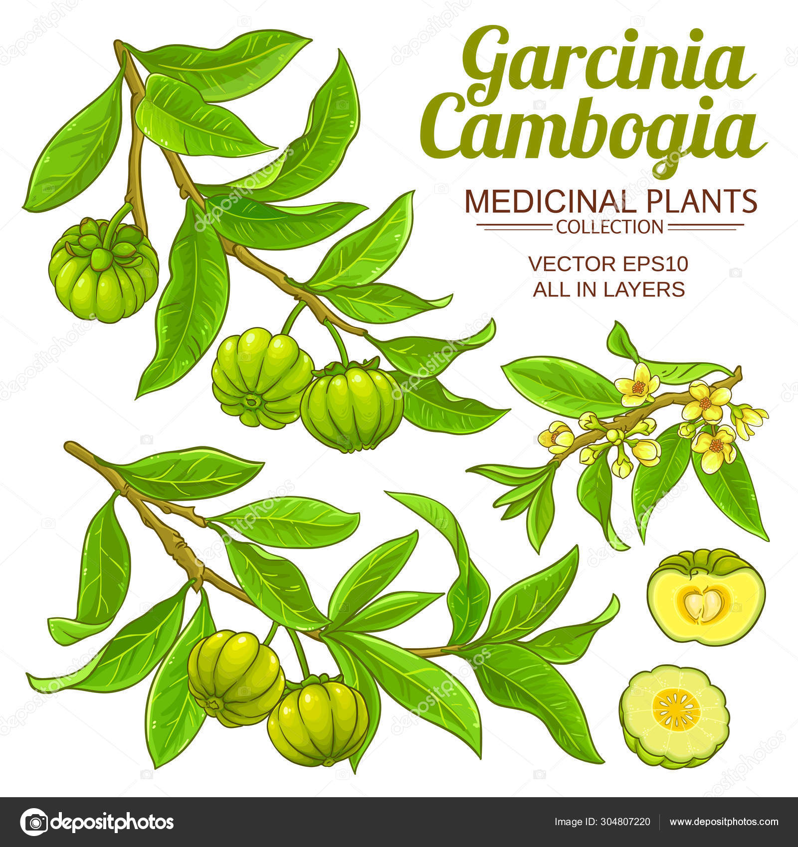 ᐈ Garcinia Cambogia Fruit Stock Vectors Royalty Free Garcinia