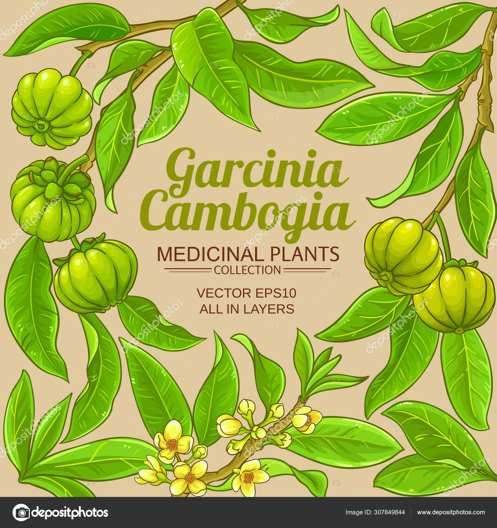 ᐈ Garcinia Cambogia Fruit Stock Vectors Royalty Free Garcinia