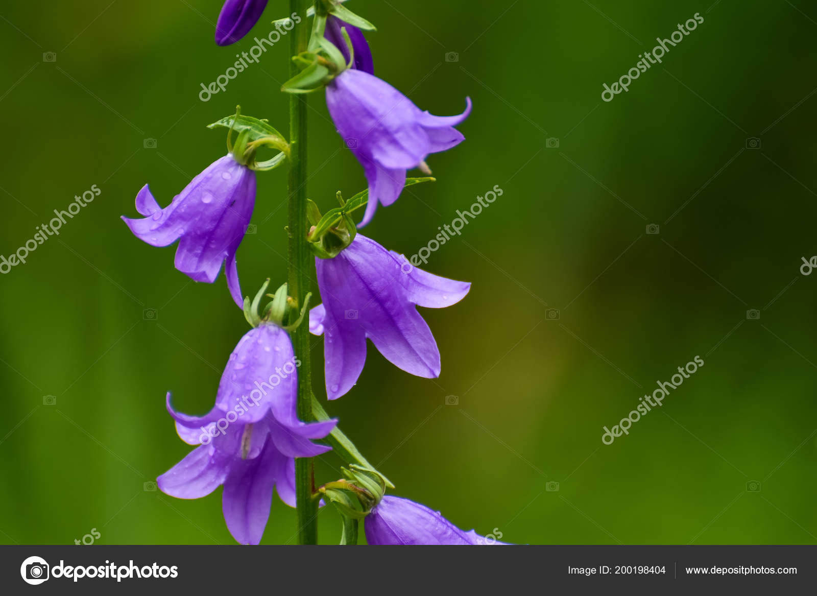Blühende Blaue Creeping Bellflower Oder Rapunzeln Glockenblume
