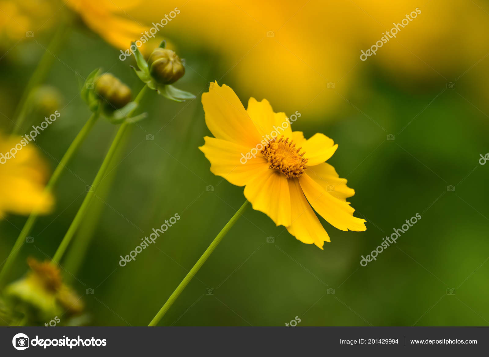 Beautiful Wild Flowers Cosmos Summer Day Meadow Flower Nature