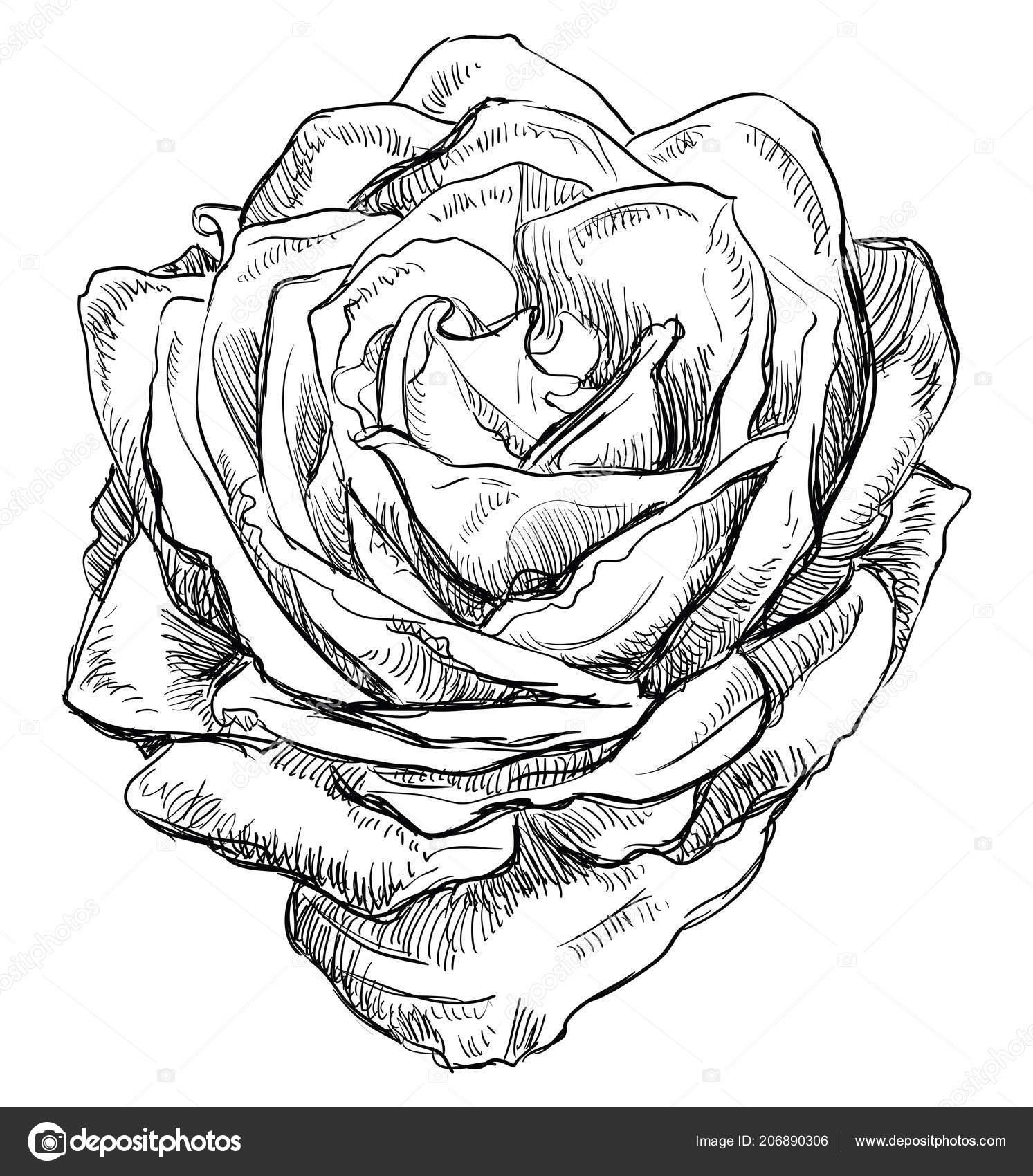 手描きのバラの花 白い背景に分離されたベクトル白黒イラスト ストック