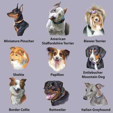 Set of colorful vector portraits of dog breeds ( border collie, papillon, American Staffordshire Terrier, sheltie, Greyhound, Rottweiler, Miniature Pinscher) isolated on purple background