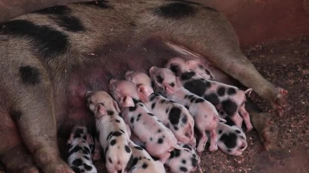 Newborn piglets being breast-fed pigs in a wooden enclosure or suckling pig puppy.